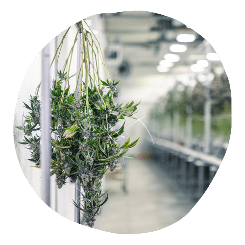 cannabis business funding